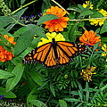 A Monarchs Colors by Rodney Lee Williams
