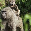 A Monkey And Its Baby Sitting On Her by Diane Levit