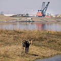A Moose Walks On The On Reclaimed Land by Todd Korol