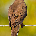 A Morning Dove by Brian Williamson