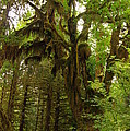 A Moss Covered Tree  In The Ho National Rain Forest by Jeff Swan