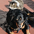 A Mouse On A Cat On A Dog In Santa by Kevin Steele