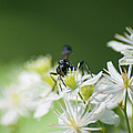 A Nectar Drink For This Black Mud Dauber   by Optical Playground By MP Ray