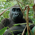 A Once Captive Gorilla Is Now by Michael Nichols