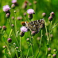 A Painted Lady by Jeff Swan