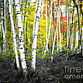 A Painting Autumn Birch Grove by Mike Nellums