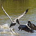 A Pair Of Brown Pelicans by Ralph Brunner