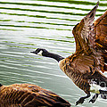 A Pair Of Canada Geese Landing On Rockland Lake by Jerry Cowart