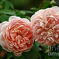 A Pair Of Colette Roses by Living Color Photography Lorraine Lynch