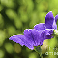 A Pair Of Purple Balloon Flowers by Mary Carol Story