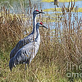 A Pair Of Sandhill Cranes by Sharon Talson