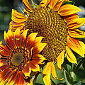 A Pair Of Sunflowers No.1 by Janice Adomeit