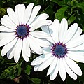 A Pair Of White African Daisies by Tracey Harrington-Simpson