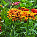 A Pair Of Yellow Zinnias 03 by Thomas Woolworth