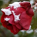 A Passing Unrequited - Rose In Winter by Steven Milner