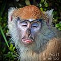 A Patas Baby Monkey Behaving Badly by Jim Fitzpatrick