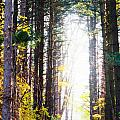 A Path In The Pines by Michael Arend