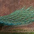 A Peacock by Ernie Echols
