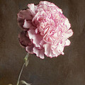 A Pink Carnation by Keith Gondron