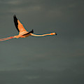 A Pink Flamingo Flies In Celestun by Chico Sanchez