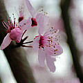 A Pink Flowering Tree Flower by P S