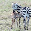 A Plains Zebra, Equus Quagga, Nursing by Tom Murphy