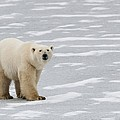 A Polar Bear On Hudson Bay by Keith Levit