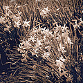 Clusters Of Daffodils In Sepia by Donna Haggerty
