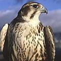 A Prairie Falcon At Dusk by Larry Allan