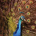 A Preening Peacock  by Jeff Swan