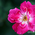 A Pretty Pink Rose by Sabrina L Ryan