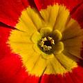 A Prim Rose by Donna Blackhall