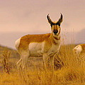 A Pronghorn Gazes by Jeff Swan