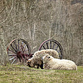 A Ram And Sheep With Attitude  by Betty  Pauwels