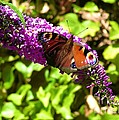 A Red Admiral On A Purple Budlier by Joan-Violet Stretch