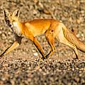 A Red Fox by Brian Williamson