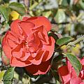 A Red Rose by Barbara Snyder