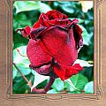 A Red Rose by Mark Szep