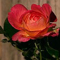 A Red Rosr Against A Weathered  Wood Background by John Harmon