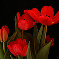 A Red Tulip Day by Roena King