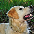 A Retriever's Loving Glance by Kaye Menner