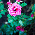 A Rose Blooms by Kaleidoscopik Photography