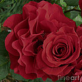 A Rose Within A Rose by Siera Anthony