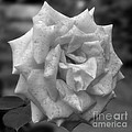 A Rose In Black And White by Smilin Eyes  Treasures