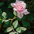A Rose Is A Rose by Allen Sheffield