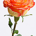 A Rose Is A Rose Is A Rose by Juergen Roth