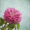 A Rose by Kim Hojnacki