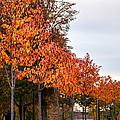 A Row Of Autumn Trees by Denise Bird