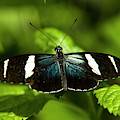 A Sara Longwing Butterfly Heliconius by Henry Georgi