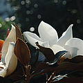 A Sea Of Magnolias by Suzanne Gaff